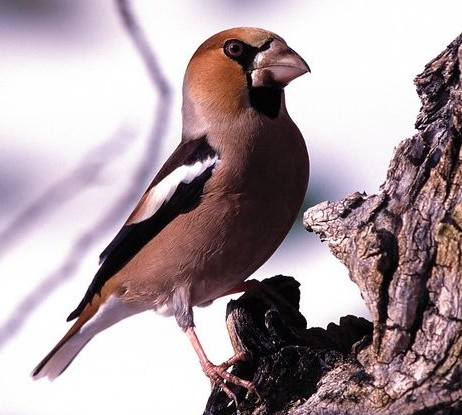 ДУБОНОС — COCCOTHRAUSTES COCCOTHRAUSTES